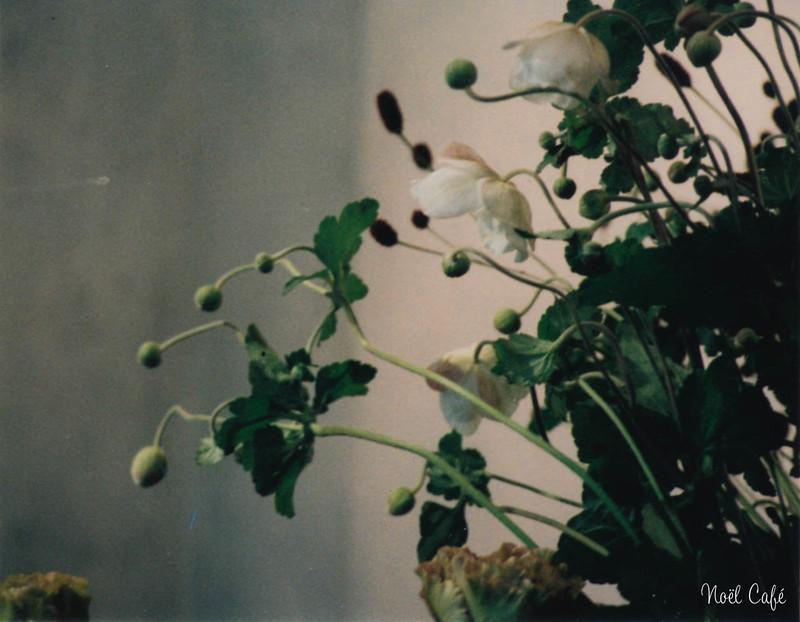 Japanese Anemone by Noël Café