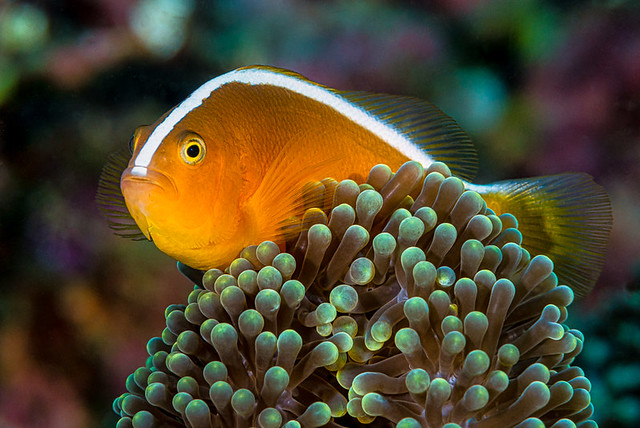 Orange Anemonefish - Amphiprion sandaracinos