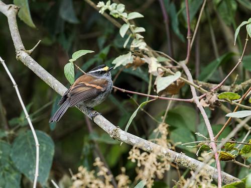 tyrannidae jelskischattyrant ochthoecajelskii fbwnewbird