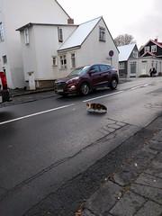 fluffy Reykjavik cat