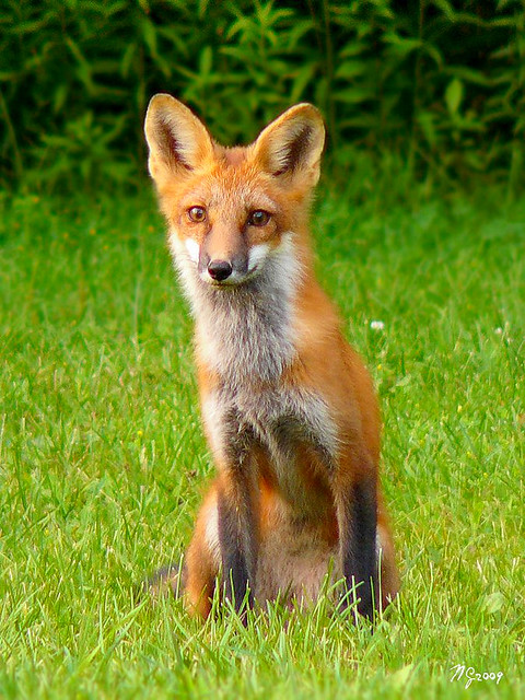 Magnificent Female Wild Fox Sighting - Close-up