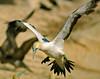 Cape Gannet, Morus capensis by f_snarfel