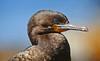 Phalacrocorax capensis, Cape Cormorant by f_snarfel