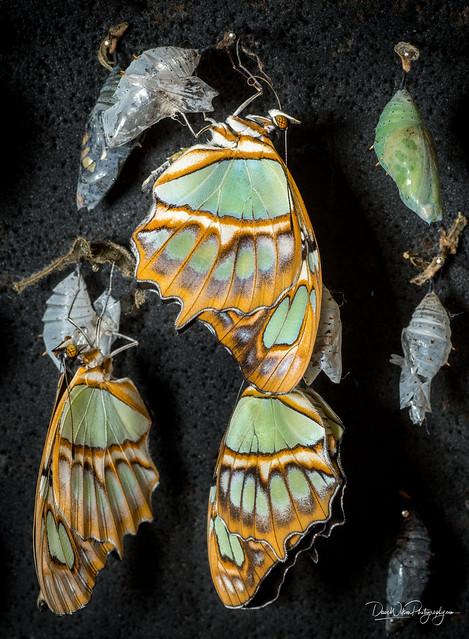 Emerging Malachite Butterflies