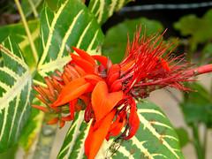 Flor de caraca