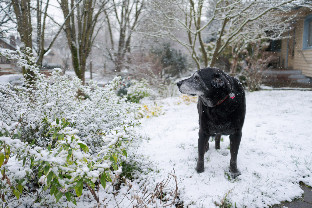 Snow falls around our dog Ellie as she stands in the snow in our front yard in the Irvington neighborhood of Portland, Oregon in February 2018