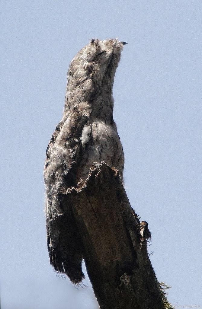 Mãe-da-lua ou Urutau | Nictibio Común | Common potoo (Nyctibius griseus)