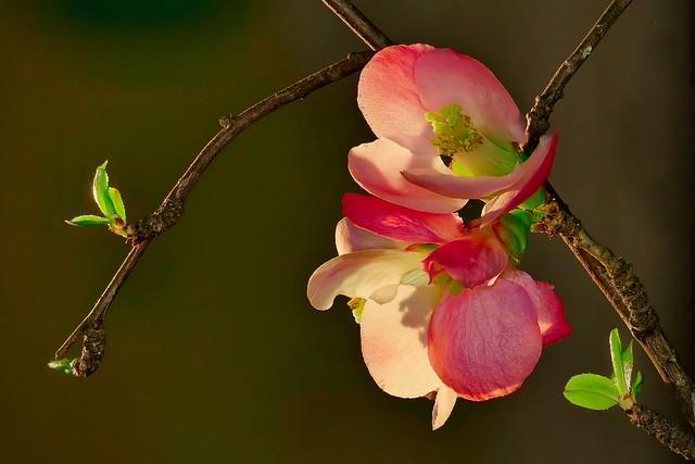 Cognassier du Japon (chaenomeles japonica)