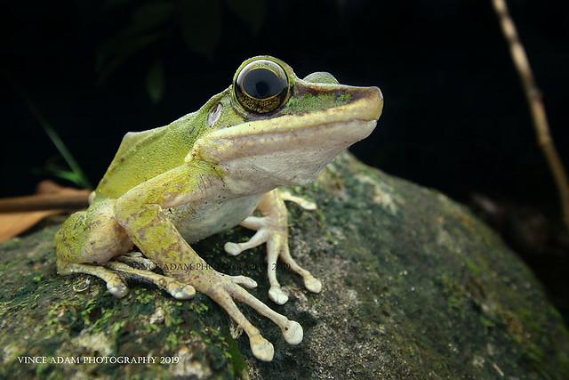 IMG_7034-1(W) Poison Rock Frog (Odorrana hosii)