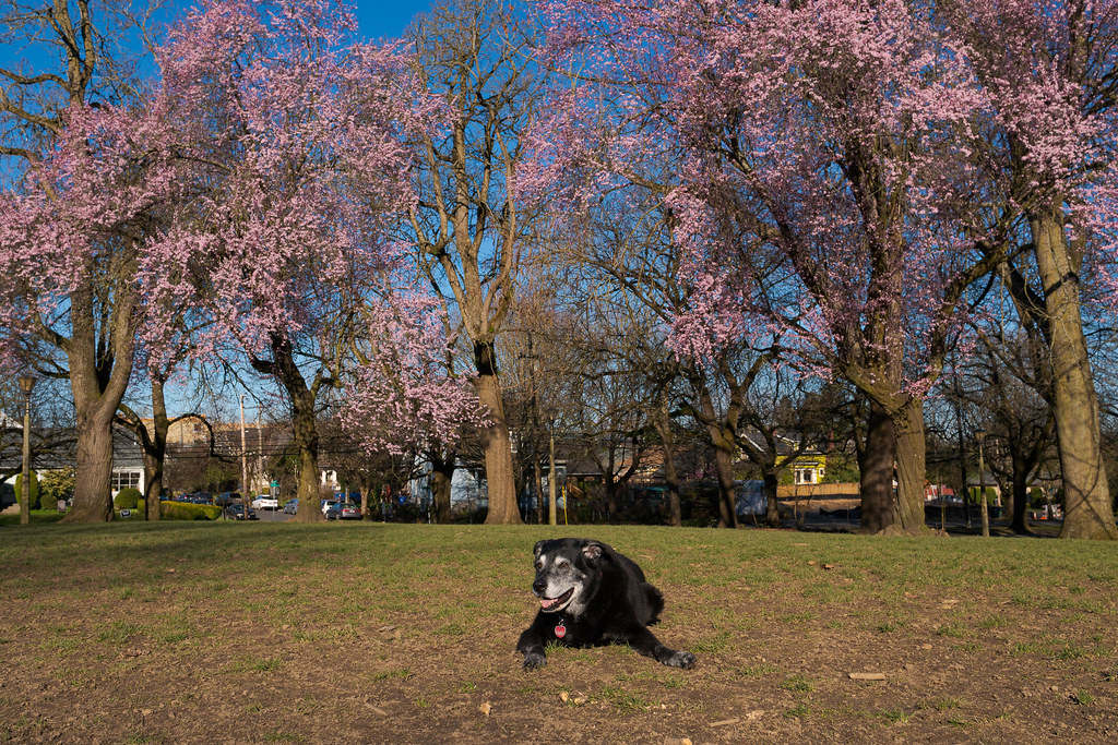 Our dog Ellie rests in the dog park at Irving Park in front of blooming trees in the Irvington neighborhood of Portland, Oregon in March 2018