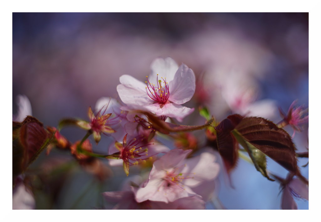 Frühling - rosa