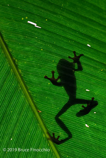 Red Tree Frog Silhouette | by brucefinocchio