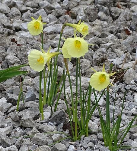 Hoop-petticoat daffodils | by Kniphofia