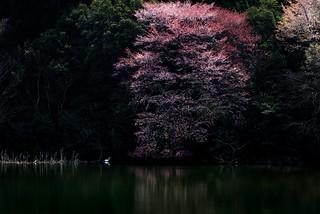 桜 #4ーCherry Blossoms #4 | by kurumaebi
