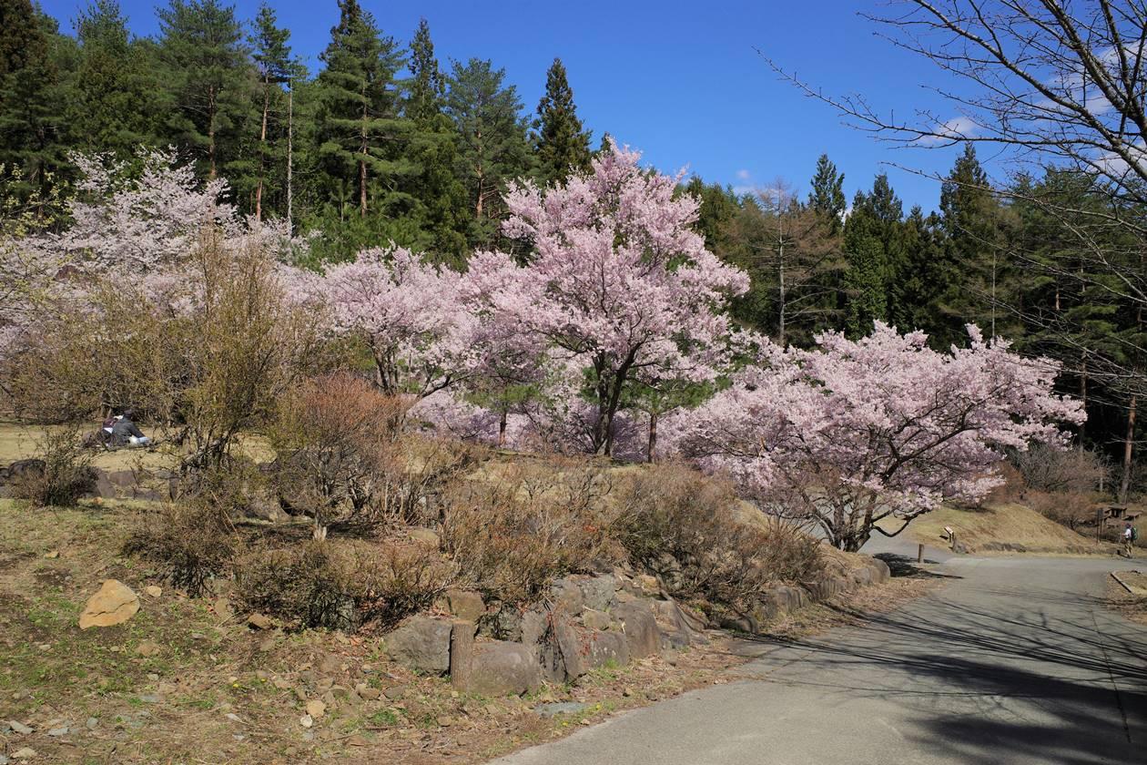 三ッ峠山登山口の桜