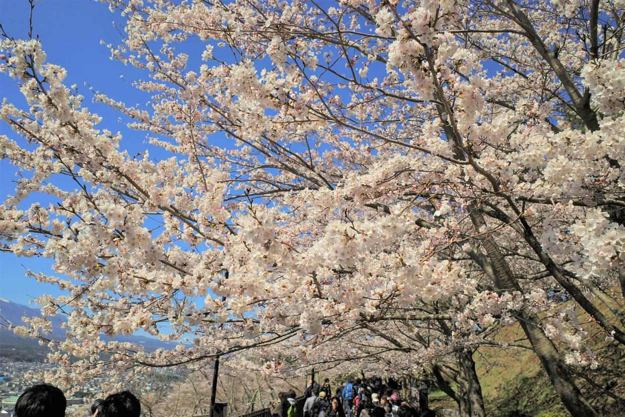 新倉山浅間公園の桜・お花見