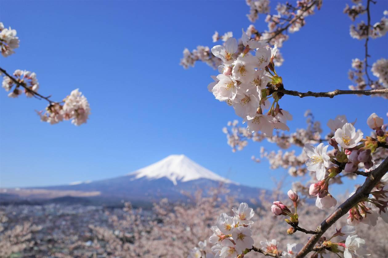 満開の桜と富士山