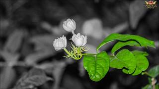 JASMINE | by nattarrajaphotography