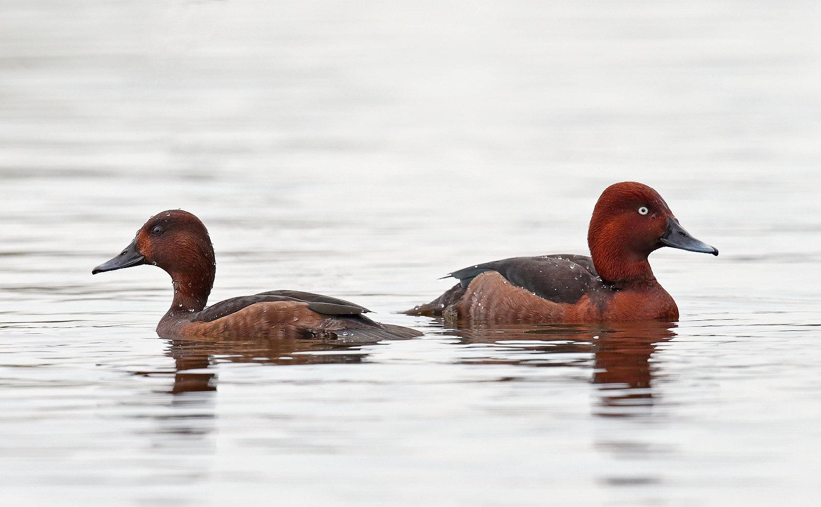 Ferruginous Duck - pair