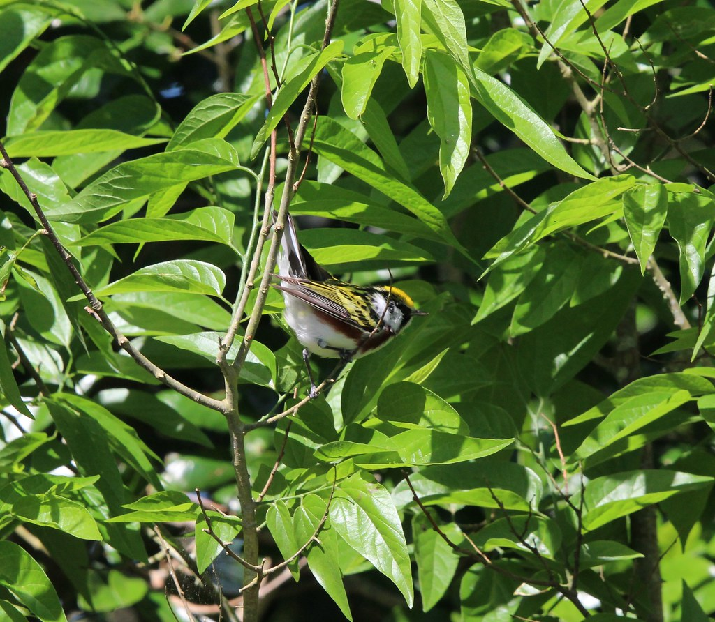 Chestnut Sided Warbler Anhauc NWR 4-14-19