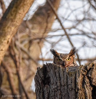 Great horned owl | by wgveenswaters