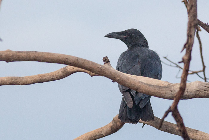 Torresian Crow maybe