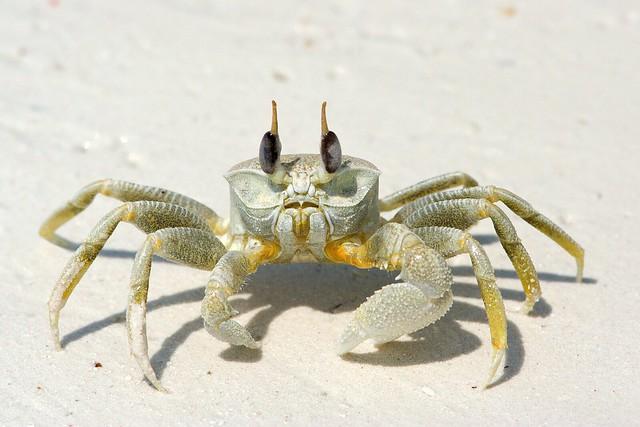 Horn-eyed Ghost Crab, Zanzibar