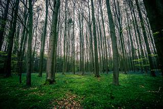 Hallerbos - hyacinth - Wide path green forest | by wanderheroes
