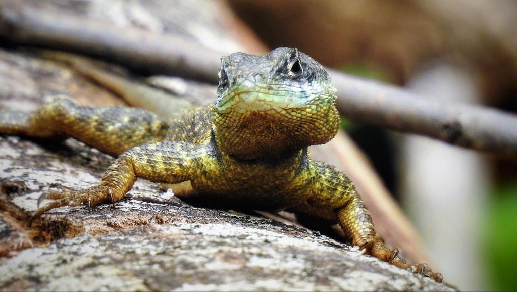 CALANGO - Tropidurus torquatus - explore
