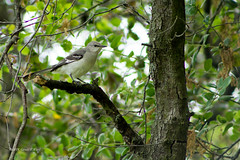northern mockingbird 3318