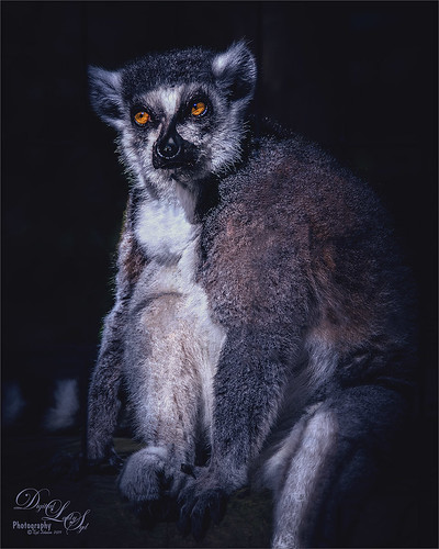 Image of a Ring-tailed Lemur at the St. Augustine Animal Farm in Florida