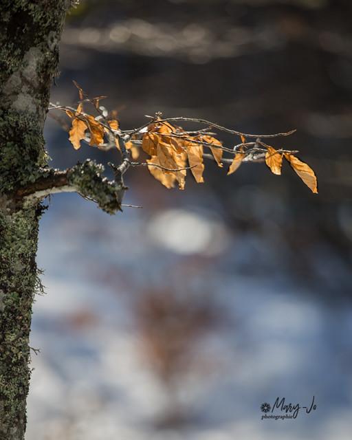 Les feuilles d'automne malgré l'hiver...  Autumn leaves despite winter ...