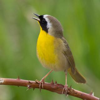 Common Yellowthroat | by nickinthegarden
