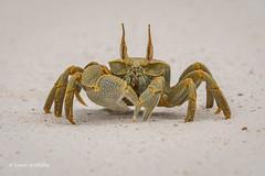 Horn-eyed Ghost Crab 501_7791.jpg