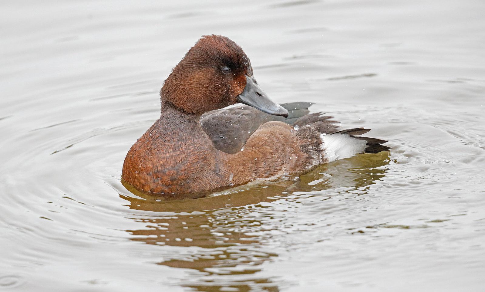 Ferruginous Duck female