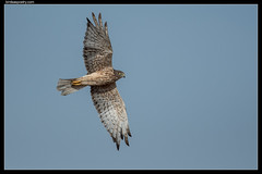Swamp Harrier: Fly Past