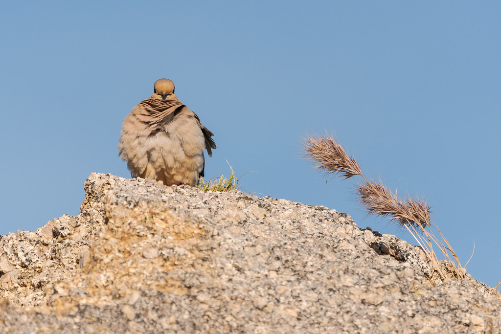 A mourning dove pauses while preening atop a large rock as the breeze picks up and ruffles its feathers on a spring morning along the Latigo Trail in McDowell Sonoran Preserve in Scottsdale, Arizona