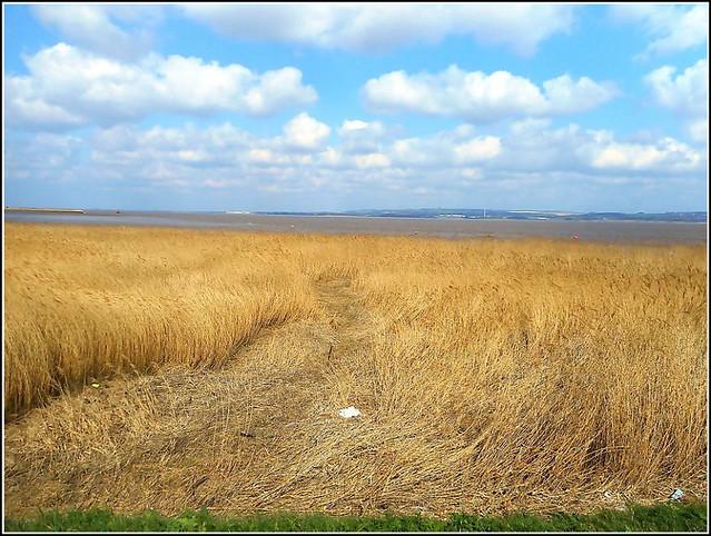 Waterside Reeds ..