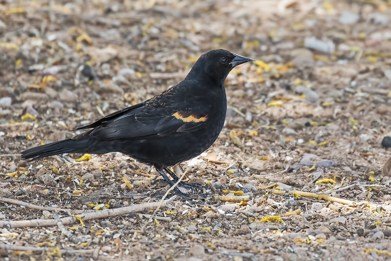 Red-winged-Blackbird-22-7D2-041319