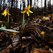 Yellow Trout Lily (Erythronium americanum) by Alex Roukis