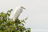 Eastern Great Egret (Ardea alba modesta), adult nonbreeding DSD_5548 by fotosynthesys