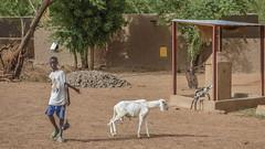 Walking the goat