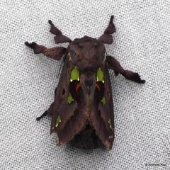 Cup Moth, Euclea sp., Limacodidae