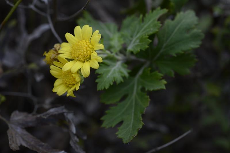 新竹油菊 Dendranthema lavandulifolium var. tomentellum 特產於新竹與苗栗海濱丘陵的菊科植物,喜好開闊、向陽的環境,葉片下表面布滿灰白色絨毛,通常冬季開花。新竹油菊的族群數量稀少,亟待保育,目前被台灣維管束植物紅皮書內被評入瀕危等級(Endangered, EN)。