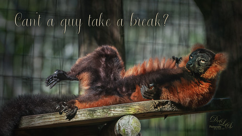 Image of a Red Ruffed Lemur at the St. Augustine Alligator Farm