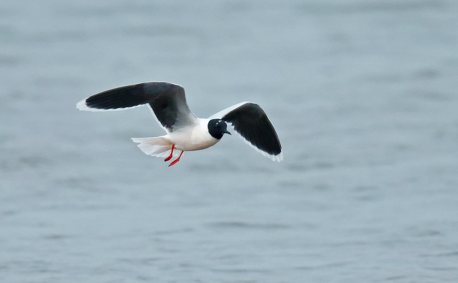 Little Gull - adult summer