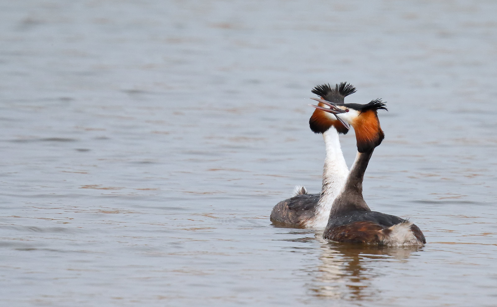 Great Crested Grebe - in display