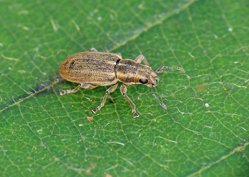 Pea-leaf Weevil - Sitona lineatus