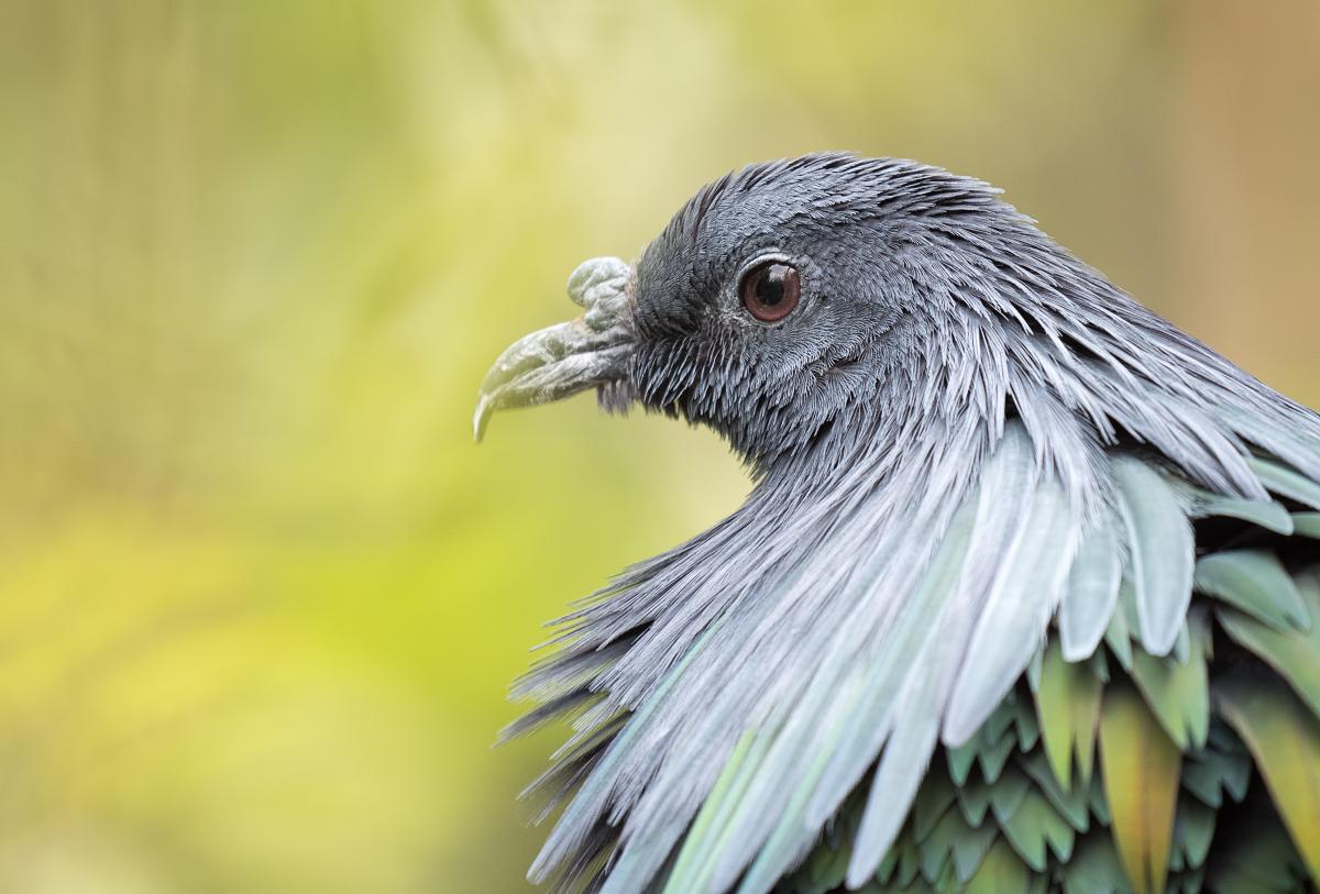 Pigeon d'apparat 40675274313_b406b52d74_o
