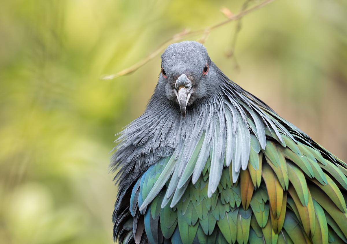 Pigeon d'apparat 40675274483_2d294f7ce3_o